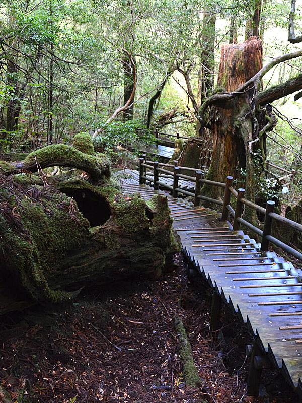 千年杉 著名杉を気軽に尋ね歩け...