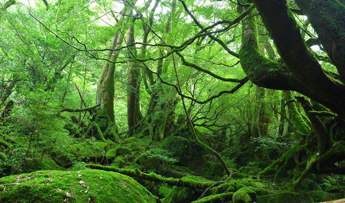 絨毯を敷いたように厚くふわふわのコケに森全体が覆い尽くされている苔むす森