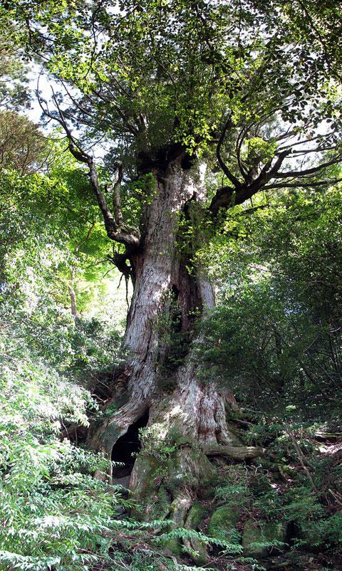 かつては最大の屋久杉として君臨...