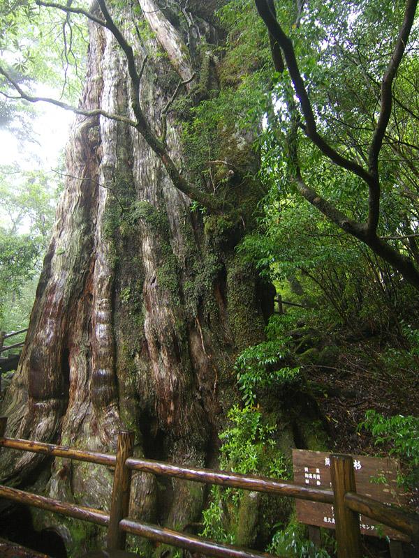 紀元杉 樹齢三千年を越える老屋...