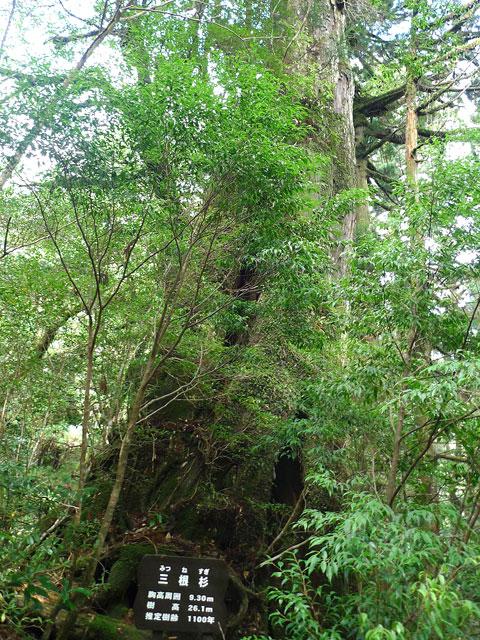 三根杉 著名杉を気軽に尋ね歩け...